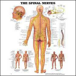 Spinal Spine Nerves Anatomical Anatomy Chart Poster Laminated