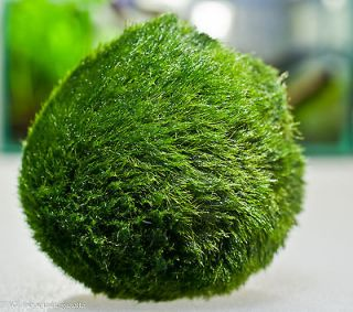 Newly listed Moss Ball x5 live aquarium plant decoration package flame