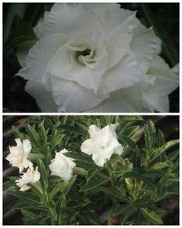plant desert rose seeds