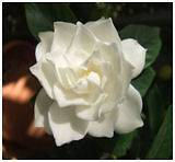 NEW* DWARF JASMINE GARDENIA BUSH * 5 seeds*VERY FRAGRANT*Evergreen