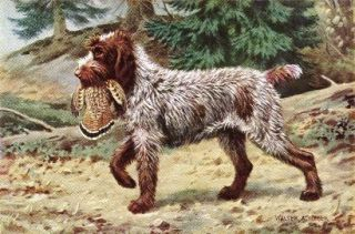 wirehaired pointing griffon in Animals