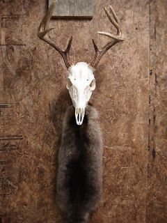 deer skull in Deer
