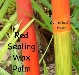 Lipstick Palm~ Red Sealing Wax Palm Tree Cyrtostachys renda Potted 3