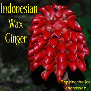 LIVE RARE Indonesian Wax Ginger 100 Seeds Tapeinochilos ananassae RED