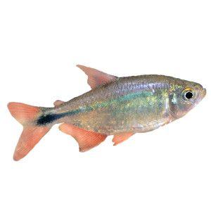 Tropical fish at petsmart from petsmart com glofish for Petsmart fish tanks for sale