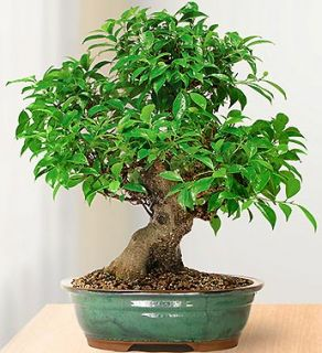Japanese Maple 15 Year Specimen Bonsai from 1 800 FLOWERS 18720