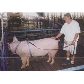 Harness Tether AI Breeding Hogs Pigs Adjustable Pig Harness