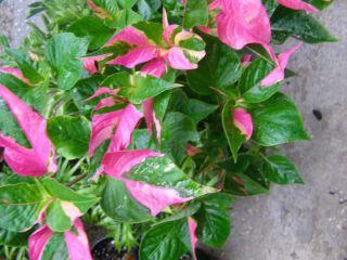 Alternanthera ficoidea Josephs Coat Colorful Plant PINK GREEN Foliage
