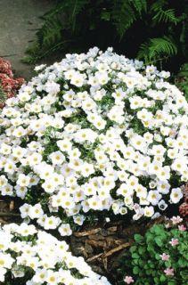 Cup Flower White Robe Nierembergia 50 Seeds Free Free SHIP on