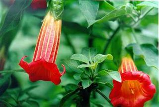 Red Angel Trumpet Brugmansia RARE Seeds Patio Plant Flower Indoor