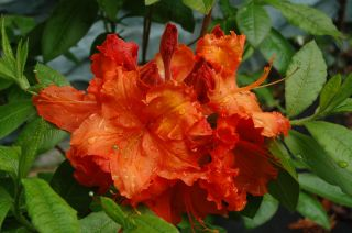 Gibraltar Deciduous Azalea 3G Hardy Orange Fragrant Flowers