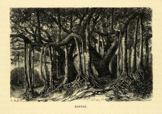 1878 Wood Engraving Banyan Tree Botanical Forest Art India Urostigma