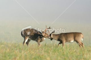 stock photo 20478592 two whitetail deer bucks sparring
