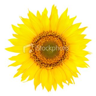 stock photo 13819632 sunflower clipping path