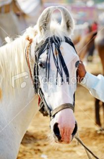 stock photo 15646443 marwari horse
