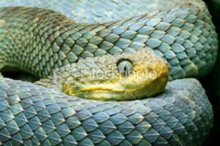African bush Viper (Atheris squamigera) Royalty Free Stock Photo