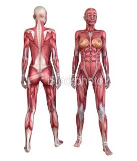 stock photo 13946459 female muscle system