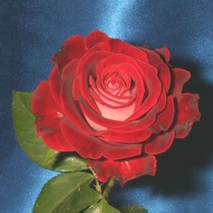 LIBERTY BELL Red and White Miniflora Hybrid Tea Rose . OWN ROOT PLANT