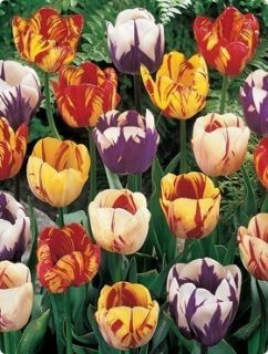 25 Rembrandts Mix Tulip Bulbs 12cm bulbs End of Season Wholesale