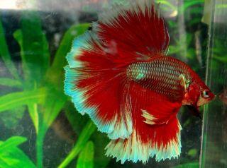 Butterfly Male Halfmoon Betta Live Fish VM5BUT