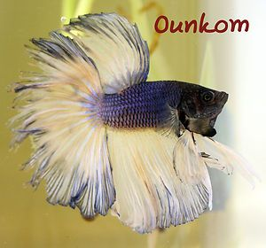 Yellow Blue Black Halfmoon Male Live Betta Fish Imported Fin Damage