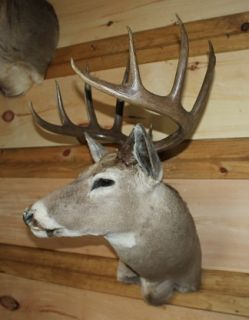 HUGE DEER TROPHY TEXAS WHITETAIL MOUNT TAXIDERMY BIG MONSTER DEER BUCK