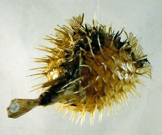 Tropical Ocean Puffer Blowfish Porcupine Fish Sea Tiki Decor