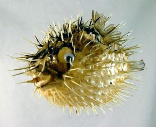 Tropical Ocean Puffer Blowfish Porcupine Fish Sea Tiki Decor