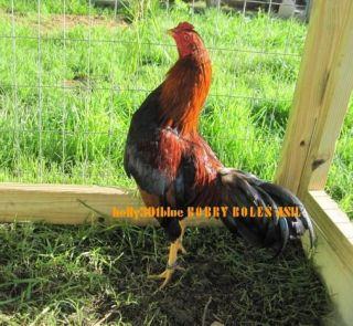 Bobby Boles Asil Gamefowl Haching Eggs