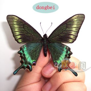 Green 5 unmounted butterfly papilionidae Papilio maackii SPRING FORM