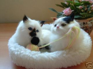 Furry Animal Cat Calico Siamese Playful Kitty Cats