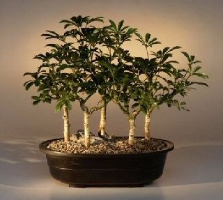 Live Hawaiian Umbrella Bonsai 5 Tree Forrest Group Nice