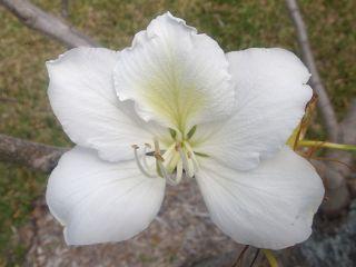 Bauhinia Variegata Candida White Orchid Tree Seeds