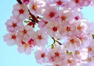 10 Japanese Cherry Tree Pink Cloud Oriental Sweet Prunus Serrulata