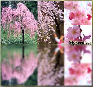 Japanese Weeping Cherry Tree Seeds Excellent Specimen