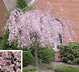 New Dwarf Weeping Cherry Tree Pink Spring Flowers 6 8 Japanese Garden