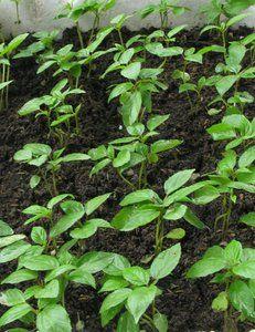 Asian vegetable seeds Jute Mellow Jew Mallow Rau Day Est 1000 Seeds