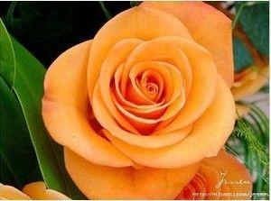 20 Seeds Chinese Orange Rose Seed for Lover Orange Rose Seed