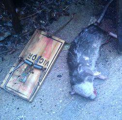 Wooden Rat Trap M201 M200 Kill Rodents Gopher Chipmunk Snap USA