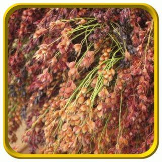 Oz   Ornamental Corn Seeds   Multi colored Broom Corn Bulk