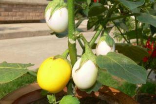 F20 300 Seeds Easter Golden Egg Tree Plant Solanum Ovigerum Ornamental