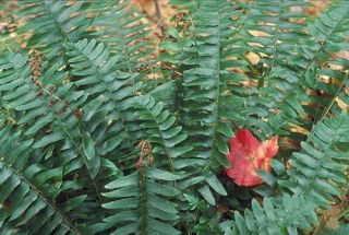Christmas Fern Evergreen Live Bare Root Plants Woodland Shade Garden