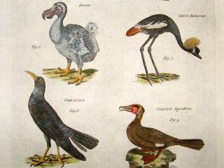Bird Print C1780 Folio. Various Birds including Extinct Dodo. Hand