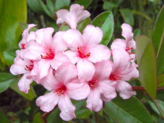 Vireya Plant First Light Tropical Rhododendron
