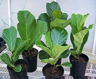 Fiddle Leaf Fig Ficus Plant