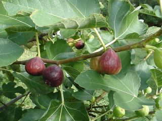 Maryland Brown Turkey Fig Tree cuttings Lot of 6
