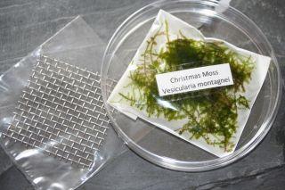 Christmas Moss RARE Live Plant Fish Shrimps Snails Tank x Moss
