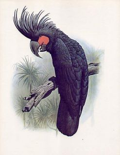 William T Cooper natural history bird print parrot PALM COCKATOO
