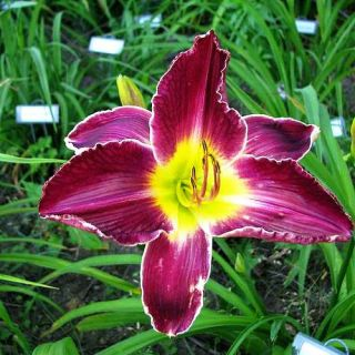 Royal Viking Purple DAYLILY DF Live Plants Perennial Flowers