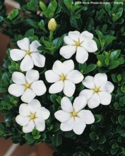 Jasmine Kleims Cape Jasmine Cold Hardy LARGE PLANT to zone 5
